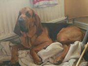 Bloodhound Puppies Looking For Forever Homes